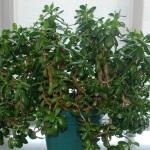 Как посадить и ухаживать за денежным деревом?
