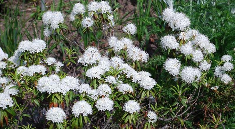 Багульник от кашля – лекарственный дар природы