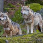 Испанцы начали сбор подписей ради имени Волк для сына