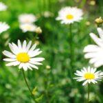 Ромашка – цветок, который знают все