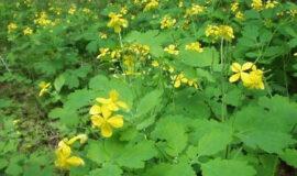 Чистотел — многолетнее травянистое растение семейства маковых